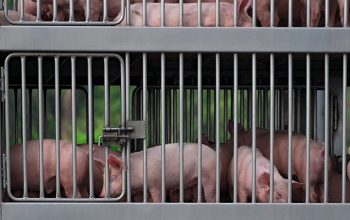 Pigs In Truck Transport From Farm To Slaughterhouse. African Swi